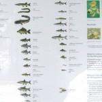 Fische übersicht Waginger See